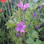 Wildflower seeds to buy 2017
