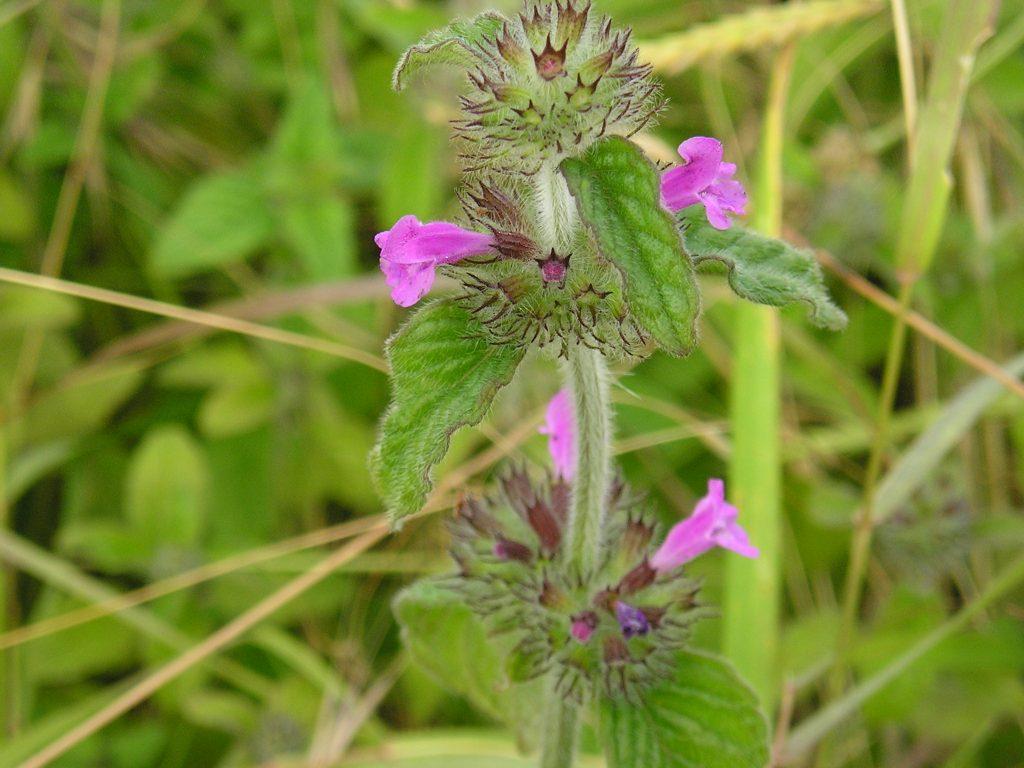 Wild Basil Seeds