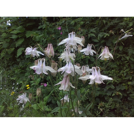 COLUMBINE seeds (aquilega vulgaris)