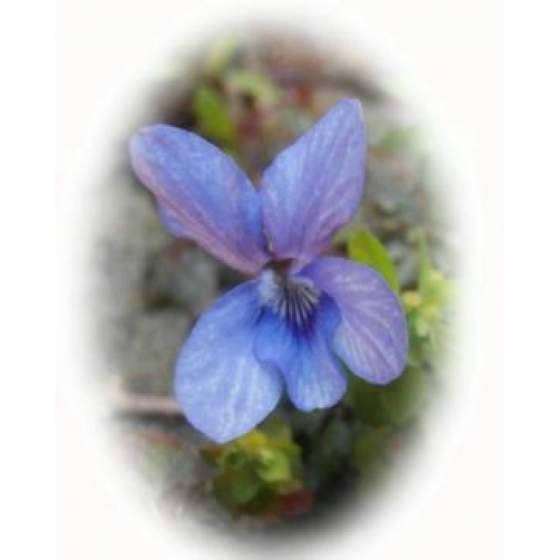 COMMON DOG VIOLET seeds (viola riviniana)