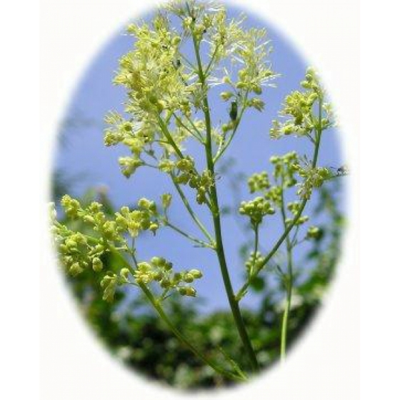 COMMON MEADOW RUE seeds (thalictrum flavum)