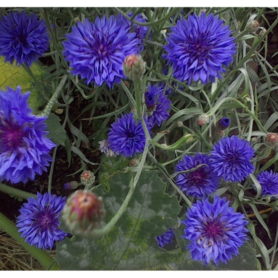 CORN FLOWER seeds (centaurea cyanus)