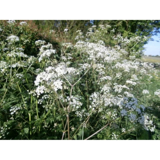 COW PARSLEY seeds (anthriscus sylvestris)