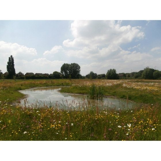 Meadow seed mix for Wet Soils -Wildflower and Grass Mix