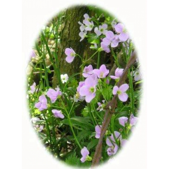 CUCKOOFLOWER seeds (cardamine pratensis)