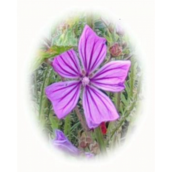 COMMON MALLOW seeds (malva sylvestris)