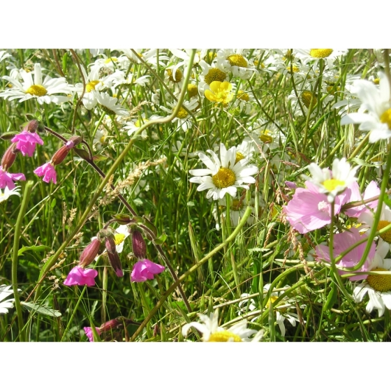 Basic Low cost Meadow seed mix -Wildflower and Grass Mix