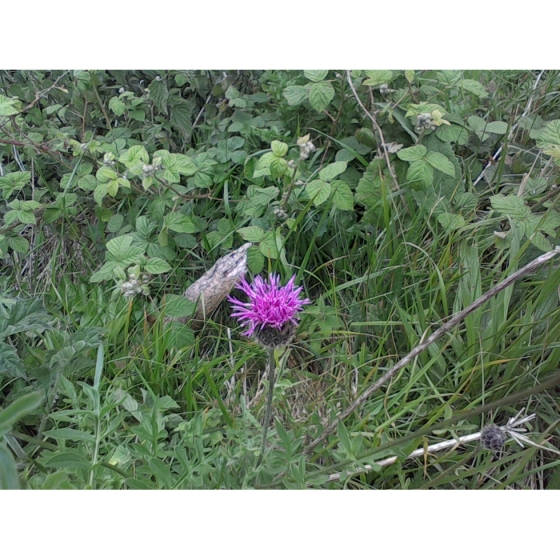 GREATER KNAPWEED seeds (centaurea scabiosa)