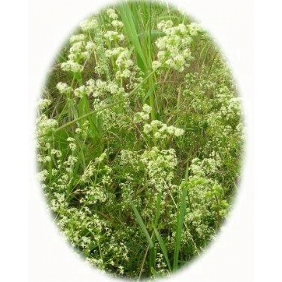 HEDGE BEDSTRAW seeds (galium mollugo)