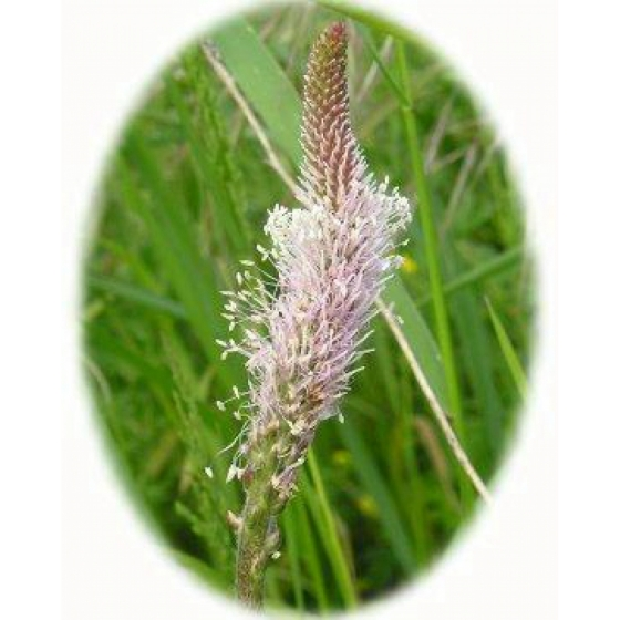 HOARY PLANTAIN seeds (plantago media)
