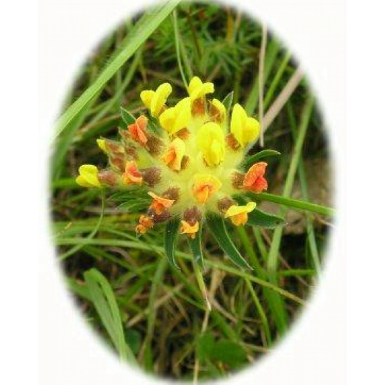KIDNEY VETCH seeds (anthyllis vulneraria)