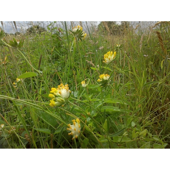 Kidney vetch seeds anthyllis vulneraria from wildflowers uk kidney vetch seeds anthyllis vulneraria mightylinksfo