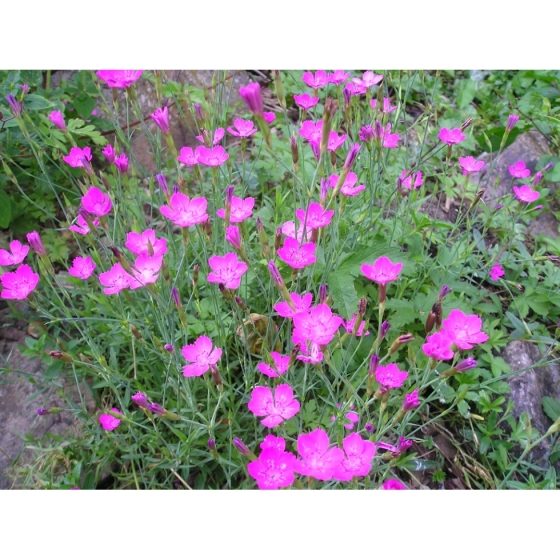 Maiden Pink Seeds Dianthus Deltoides From Wildflowers Uk