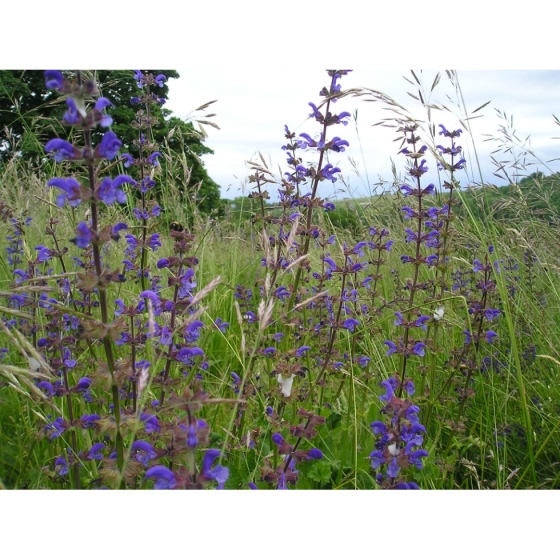 MEADOW CLARY seeds (salvia pratensis)