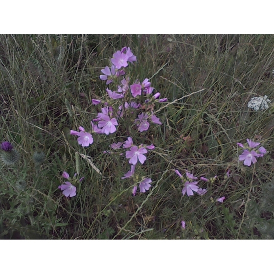 MUSK MALLOW seeds (malva moschata)