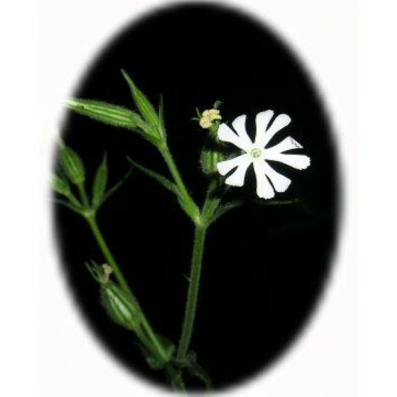 NIGHT FLOWERING CATCHFLY seeds (silene noctiflora)