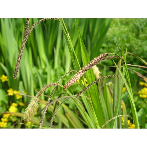 PENDULOUS SEDGE seeds (carex pendula)