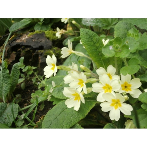 PRIMROSE native seeds (primula vulgaris)