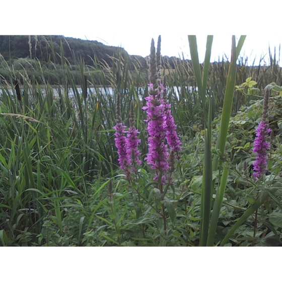 PURPLE LOOSESTRIFE seeds (lythrum salicaria)