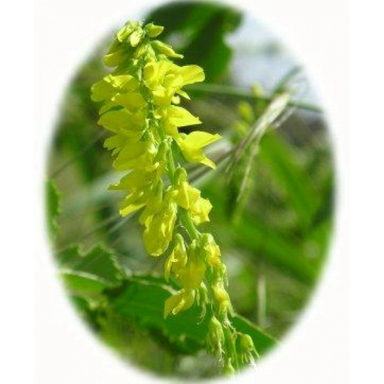 RIBBED MELI LOT seeds (melilotus officinalus)
