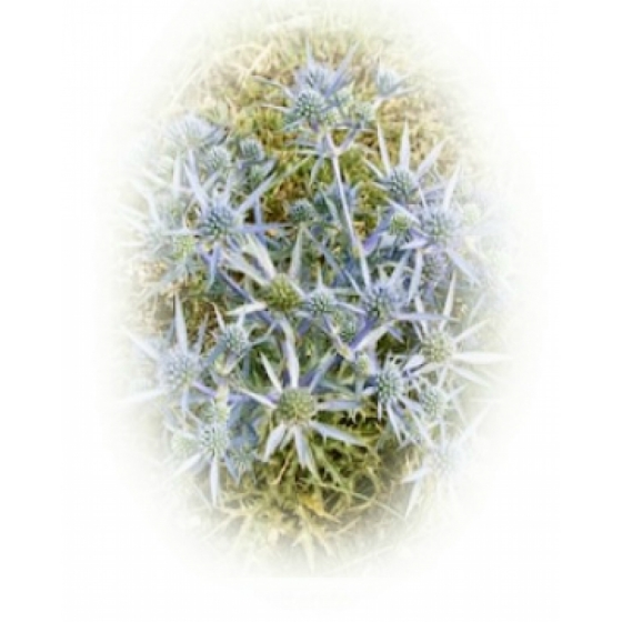 SEA HOLLY seeds (eryngium maritimun)