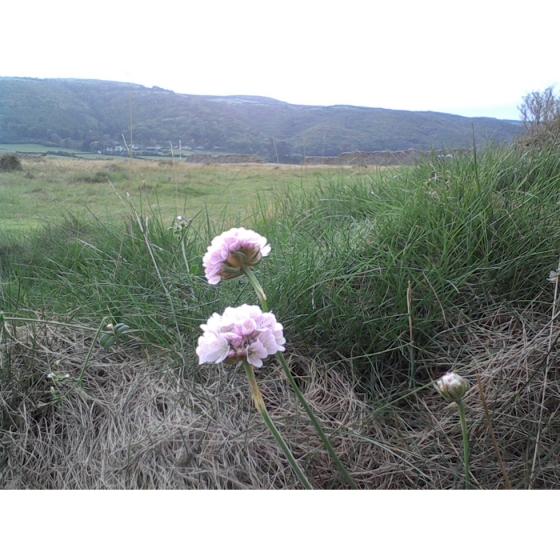 THRIFT seeds (armeria maritima)