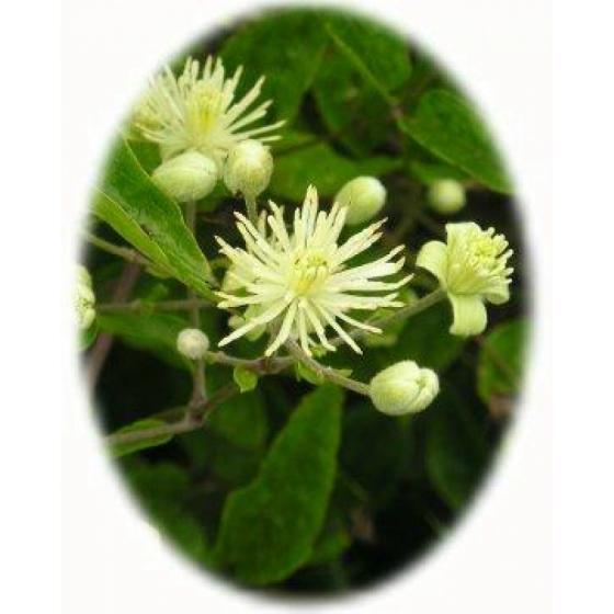 TRAVELLERS JOY seeds (clematis vitalba)