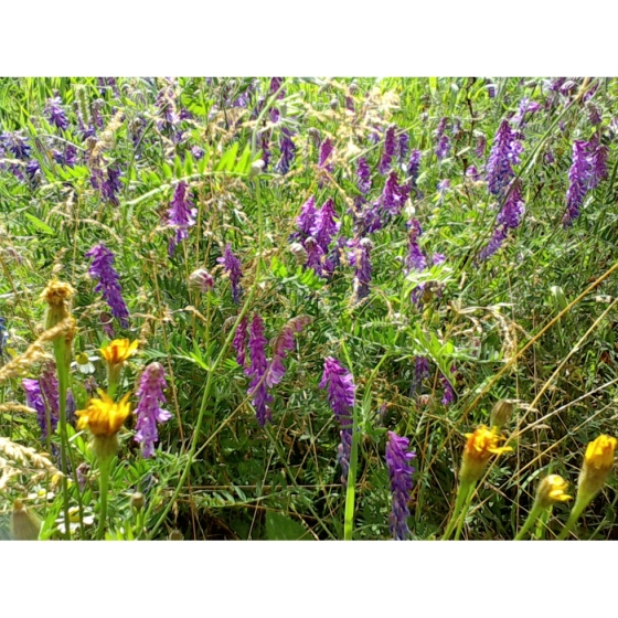 TUFTED VETCH seeds (vicia cracca)