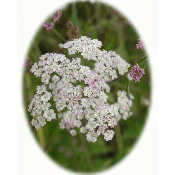 UPRIGHT HEDGE PARSLEY seeds (torilis japonica)