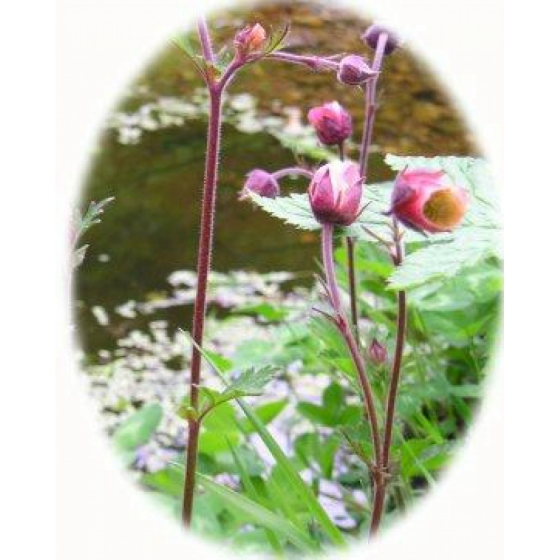 WATER AVENS seeds (geum rivale)