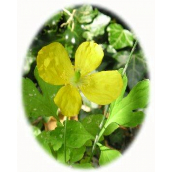 WELSH POPPY seeds (meconopsis cumbrica)
