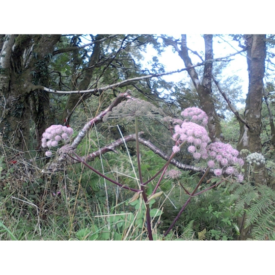 WILD ANGELICA seeds (angelica sylvestris)
