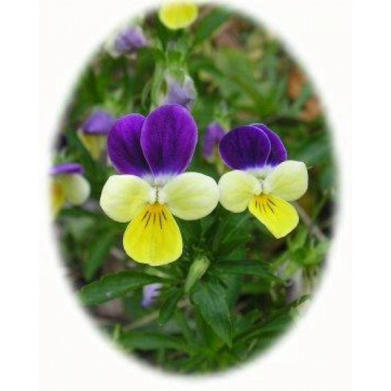 WILD PANSY seeds (viola tricolor)