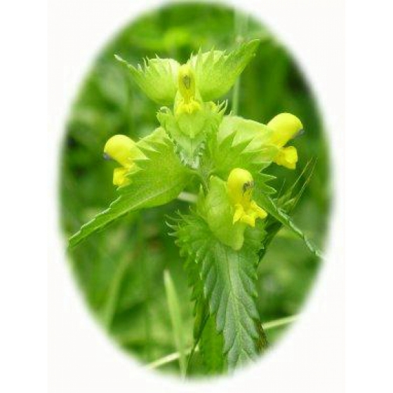 YELLOW RATTLE seeds 2017 harvest (rhinanthus minor)