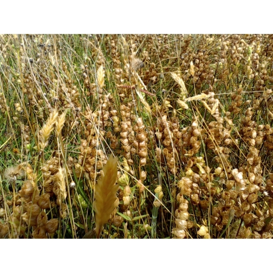 YELLOW RATTLE seeds 2018 harvest (rhinanthus minor)