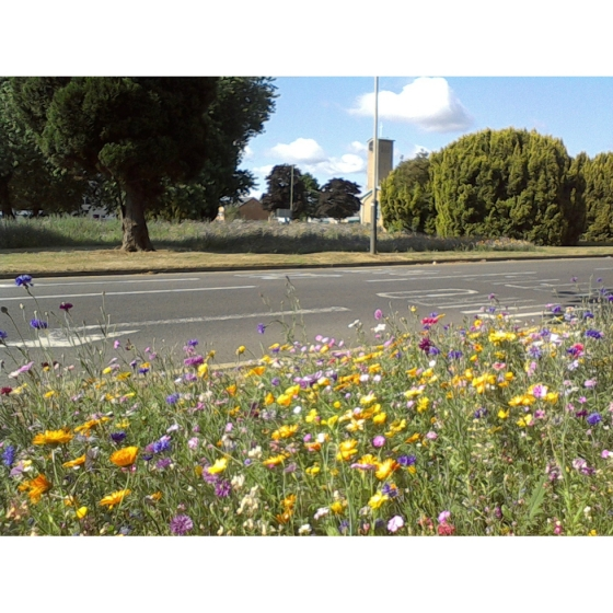 Urban annual Wildflowers (100% wildflower mix)