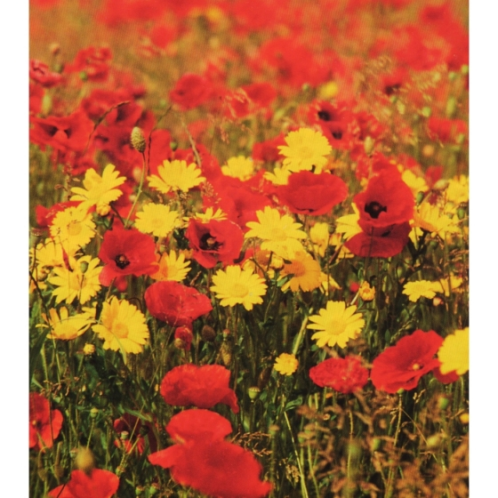 Golden Glory annual wildflower seeds