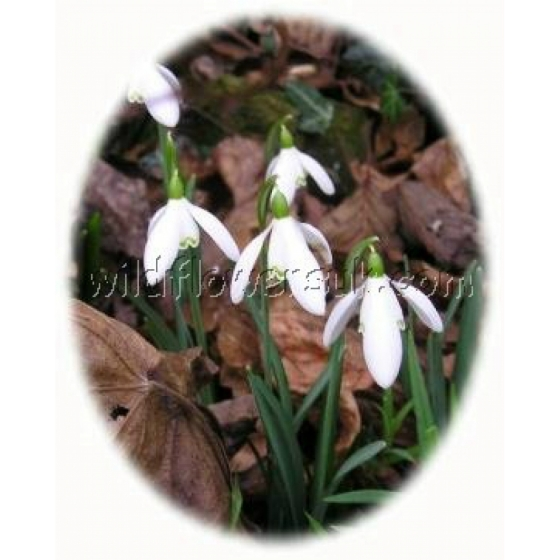 Woodland Glade Bulb Collection (100 bulbs)