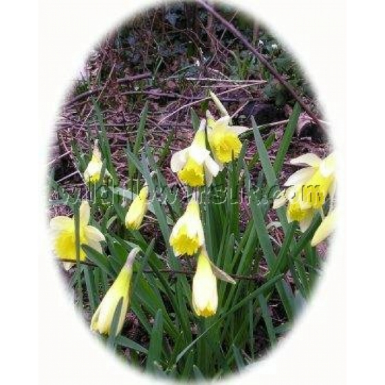 Spring Meadow Bulb Collection (50 bulbs)