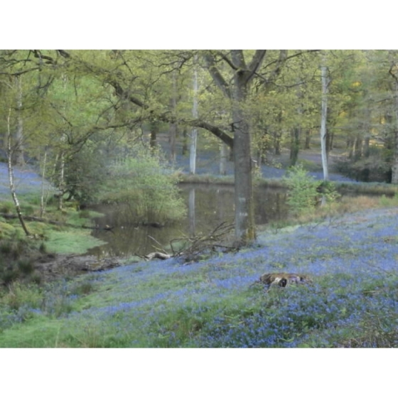 English Bluebell bulbs (hyacinthoides-non-scripta)