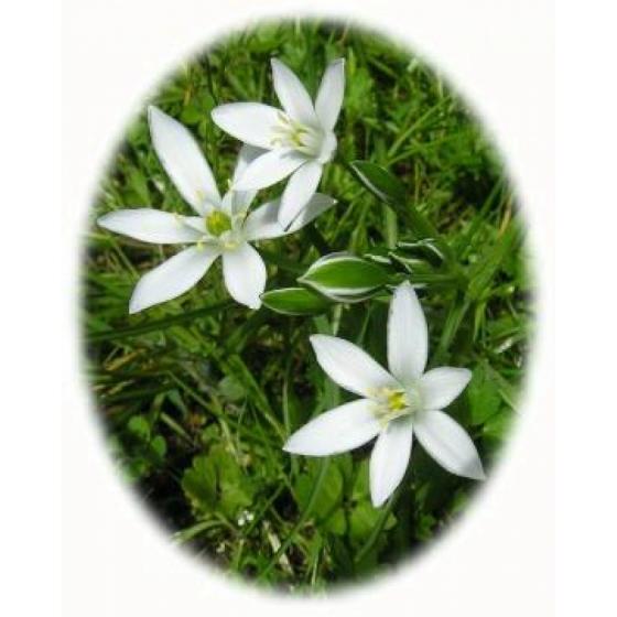 Star Of Bethlehem Bulbs Ornithogalum Umbellatum