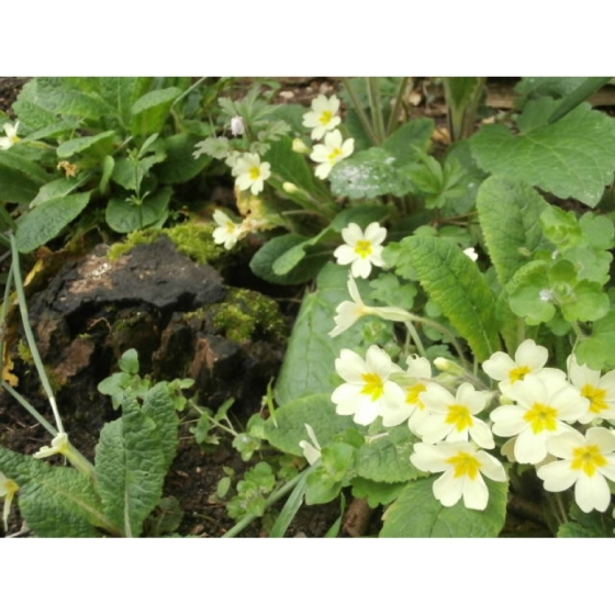 PRIMROSE native plugs (primula vulgaris)