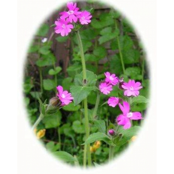 Red campion plugs silene dioica from wildflowers uk red campion plugs silene dioica mightylinksfo