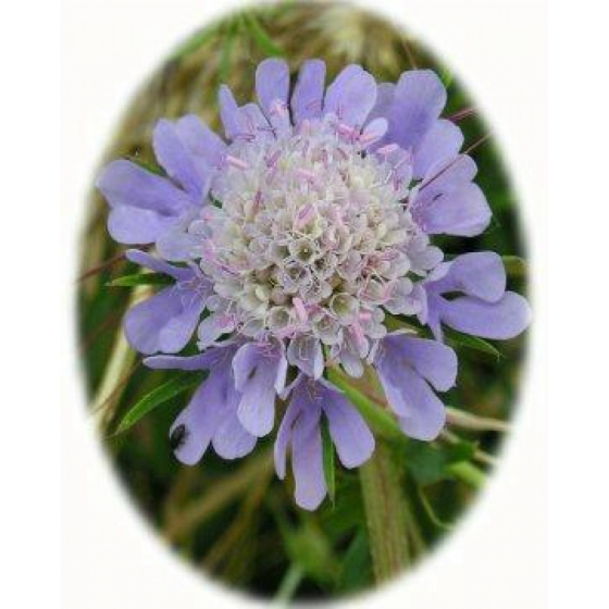 SMALL SCABIOUS plugs (scaboisa columbaria)