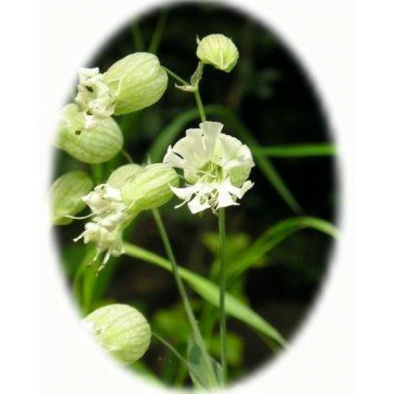 BLADDER CAMPION seeds (silene vulgaris)