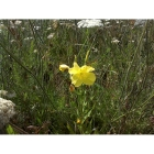 COMMON EVENING PRIMROSE seeds (oenothera biennis)