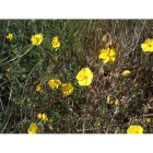 COMMON ROCKROSE seeds (helianthemum nummularium)