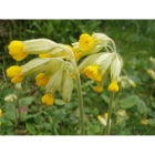 COWSLIP native seeds (primula veris)
