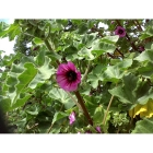 TREE MALLOW seeds (lavatera arborea)