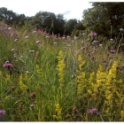 Chalk and Limestone Meadow mix -Wildflower and Grass Mix